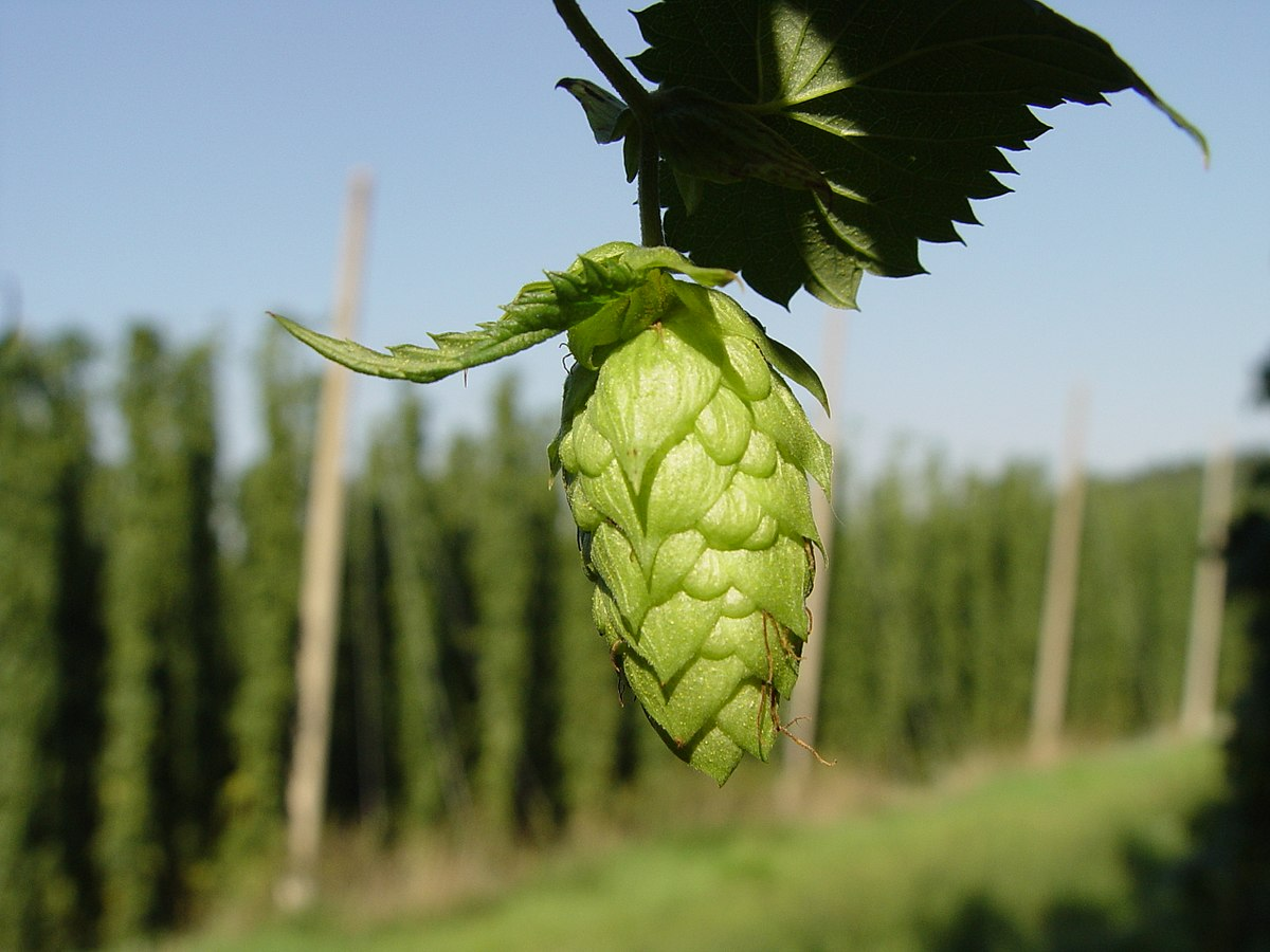 The importance of characterizing hops in beer